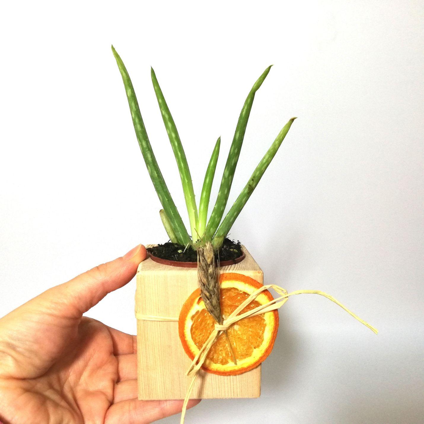 Doğal Ahşap Küp Saksı ve Canlı Aloe Vera - Djibouti